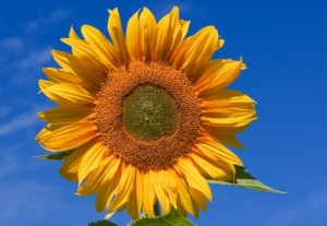 MIT Scientists Find Way to Maximize Concentrated Solar Plant Efficacy by Emulating a Sunflower's Pattern